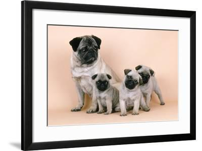Pug Dog and 3 Puppies--Framed Photographic Print