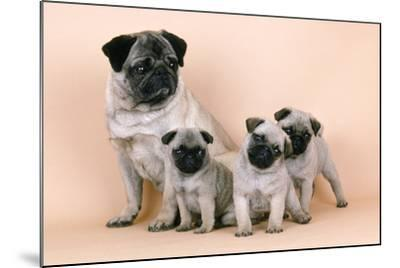 Pug Dog and 3 Puppies--Mounted Photographic Print