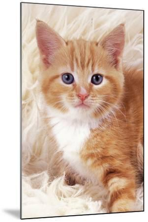 Ginger Kitten, Close-Up on Rug--Mounted Photographic Print