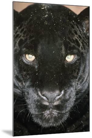 Black Jaguar--Mounted Photographic Print