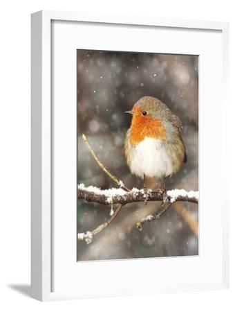 Robin on Snow Covered Branch with Falling Snow--Framed Photographic Print