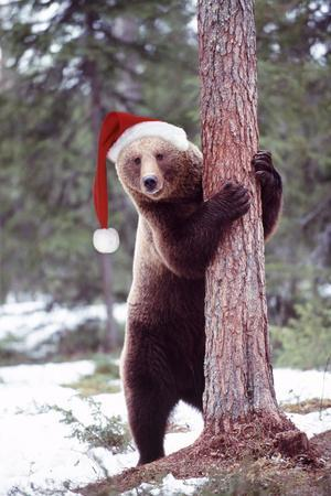 Brown Bear Hugging Tree, Wearing Christmas Hat--Framed Photographic Print