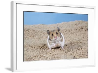 Hamster Digging in Sand--Framed Photographic Print