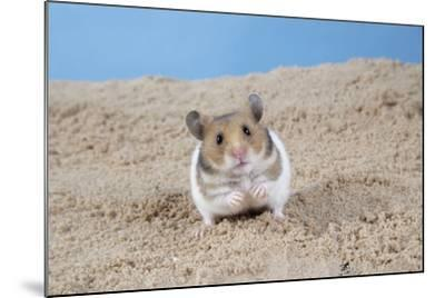 Hamster Digging in Sand--Mounted Photographic Print