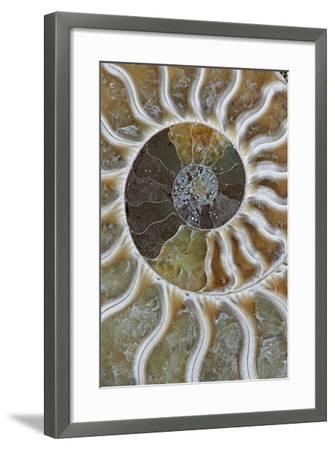 Fossil Ammonite--Framed Photographic Print