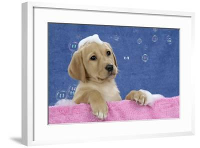 Labrador Retriever 9 Wk Old Puppies With--Framed Photographic Print