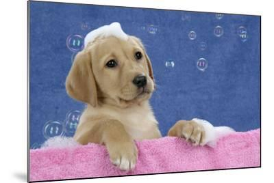 Labrador Retriever 9 Wk Old Puppies With--Mounted Photographic Print