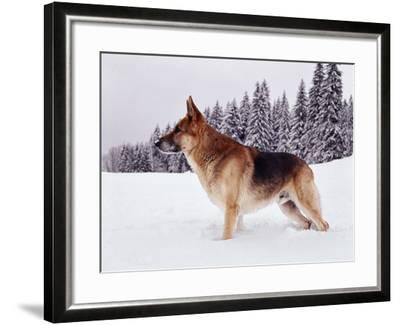 German Shepherd, Alsatian Dog Standing Deep Snow--Framed Photographic Print