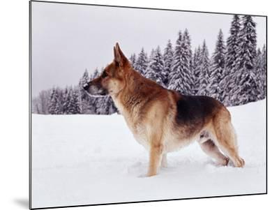 German Shepherd, Alsatian Dog Standing Deep Snow--Mounted Photographic Print