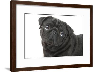 Pug in Studio--Framed Photographic Print