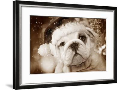 English Bulldog Close-Up of Face--Framed Photographic Print