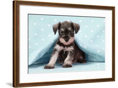 Miniature Schnauzer Puppy (6 Weeks Old)--Framed Photographic Print