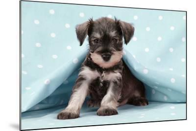 Miniature Schnauzer Puppy (6 Weeks Old)--Mounted Photographic Print