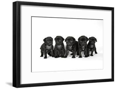 Five Black Pug Puppies (6 Weeks Old)--Framed Photographic Print