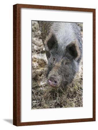 Berkshire Pig in Mud (Head Shot)--Framed Photographic Print