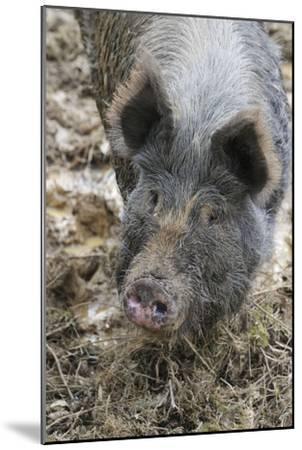 Berkshire Pig in Mud (Head Shot)--Mounted Photographic Print