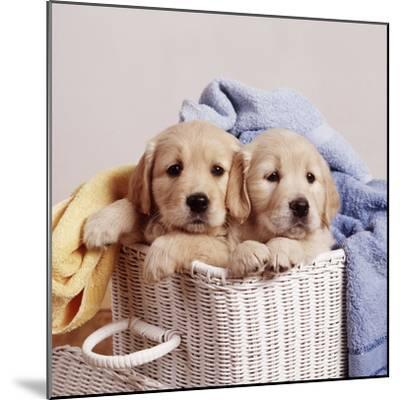 Golden Retriever Dog Two Puppies in Laundry Basket--Mounted Photographic Print