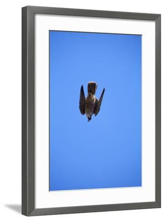 Peregrine Falcon Swooping--Framed Photographic Print