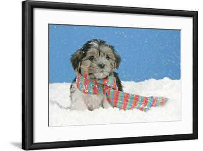 Lhasa Apso Cross Puppy (7 Weeks Old) With--Framed Photographic Print