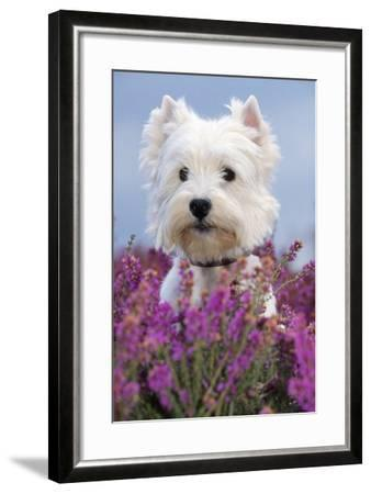 West Highland White Terrier Dog in Heather Flowers--Framed Photographic Print