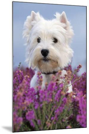 West Highland White Terrier Dog in Heather Flowers--Mounted Photographic Print
