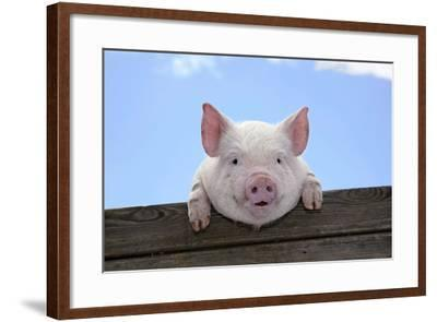 Pigs Piglets Looking over Fence--Framed Photographic Print
