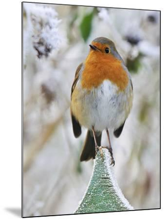 Bird Robin in Frosty Setting--Mounted Photographic Print