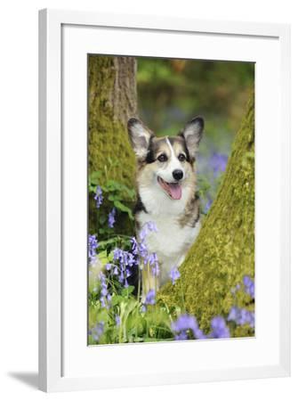 Pembroke Welsh Corgi Sitting Between Tree Trunks--Framed Photographic Print