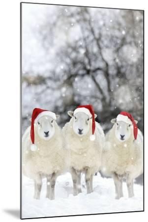 Sheep Texel Ewes in Snow Wearing Christmas Hats--Mounted Photographic Print