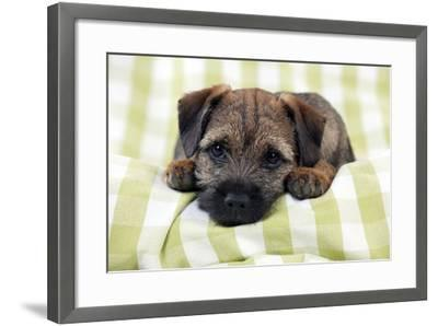 Border Terrier Puppy Sitting on a Blanket--Framed Photographic Print