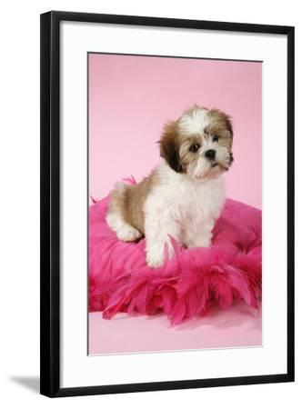 Shih Tzu 10 Week Old Puppy on Pink Cushion--Framed Photographic Print