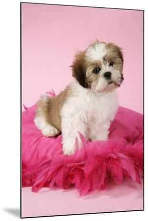 Shih Tzu 10 Week Old Puppy on Pink Cushion--Mounted Photographic Print