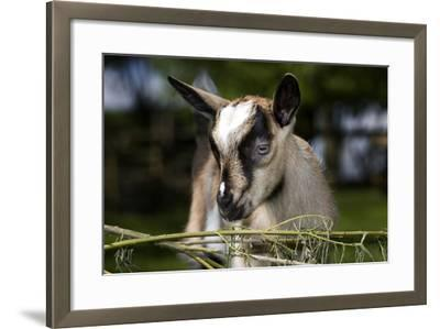 Brown Goat Kid at Fence in Garden--Framed Photographic Print