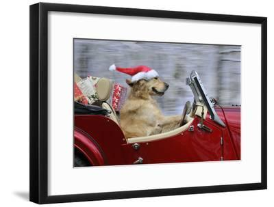Golden Retriever Dog Wearing Father Christmas--Framed Photographic Print