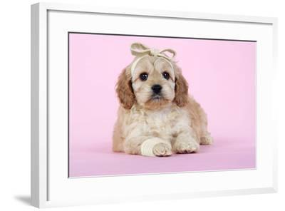 Cockerpoo Puppy (7 Weeks Old) with Bandaged--Framed Photographic Print