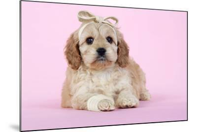 Cockerpoo Puppy (7 Weeks Old) with Bandaged--Mounted Photographic Print
