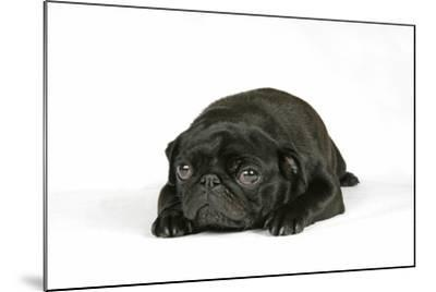 Black Pug Puppy (6 Weeks Old) Lying Down--Mounted Photographic Print