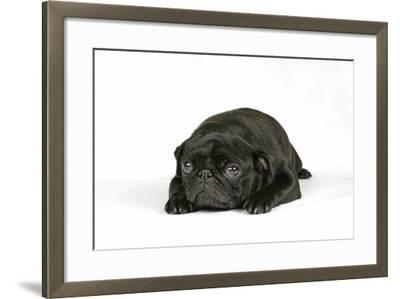 Black Pug Puppy (6 Weeks Old) Lying Down--Framed Photographic Print