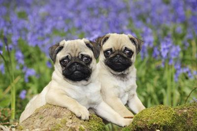 Pug Puppies Standing Together in Bluebells--Photographic Print