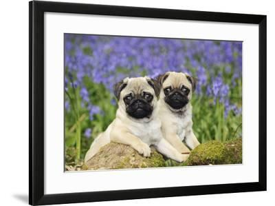 Pug Puppies Standing Together in Bluebells--Framed Photographic Print