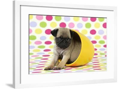 Pug Puppy (6 Wks Old) in a Yellow Pot--Framed Photographic Print