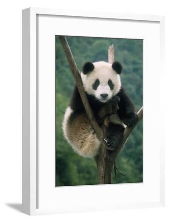 Giant Panda Juvenile Sitting in Tree Fork--Framed Photographic Print