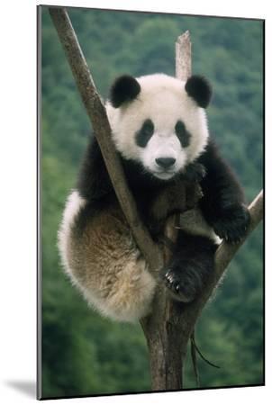 Giant Panda Juvenile Sitting in Tree Fork--Mounted Photographic Print