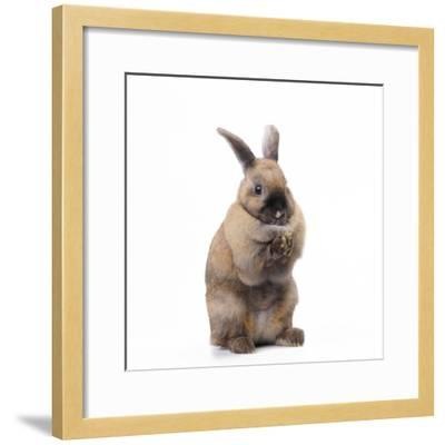 Rabbit Sitting Up on Hind Legs--Framed Photographic Print