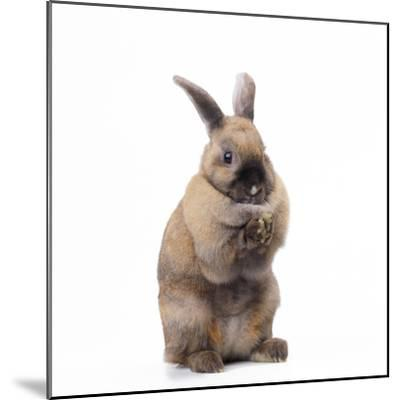 Rabbit Sitting Up on Hind Legs--Mounted Photographic Print
