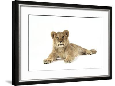 Lion Cub (Approx 16 Weeks Old) Lying--Framed Photographic Print