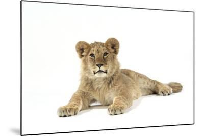 Lion Cub (Approx 16 Weeks Old) Lying--Mounted Photographic Print
