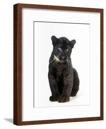 Black Panther Cub, 16 Weeks Old--Framed Photographic Print