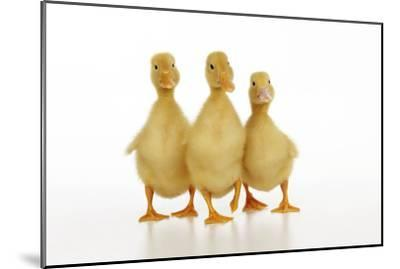 Three Ducklings Stood in a Row--Mounted Photographic Print