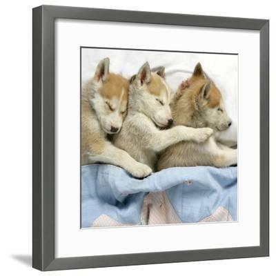 Husky Puppies (7 Weeks Old) Asleep in Bed--Framed Photographic Print